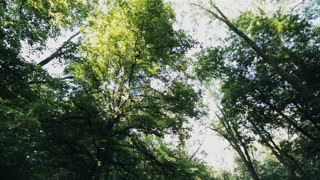 Tall and dense green trees spin around the camera. Low angle footage of a forest.