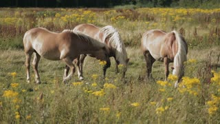 Three horses graze on a field by summer.