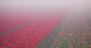 Time lapse in 4k of a field with colorful tulips covered by fog and waking up under the morning sunlight.