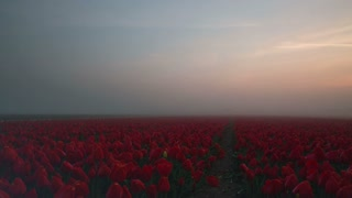 Time lapse of fog moving over a field with red tulips at sunrise near Lisse, The Netherlands.