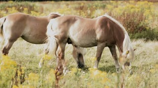Two horses grazing in a rural field by summer. Static footage.