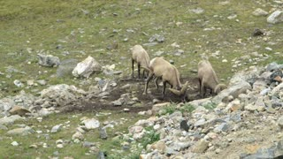 bighorn sheep eating on a side of a mountain