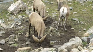 bighorn sheep in the Rocky Mountains.