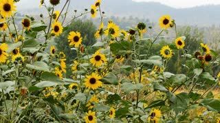 black eyed susan plant on a mountain side