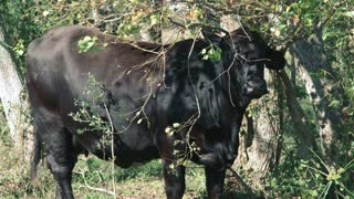 Brangus cow under a tree.