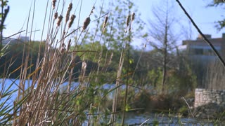 cattail weeds with a lake in the background