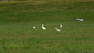 cattle egret birds in south Texas eating bugs