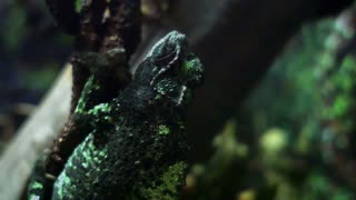 chameleon hanging on a branch 4k.