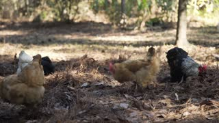 closeup of free range chickens pecking for food 4k