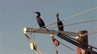 coot birds on a boat mast