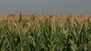 corn field before harvesting