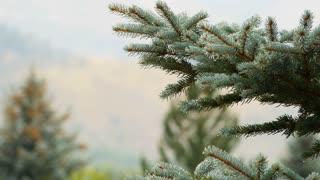 dew on a spruce tree 4k
