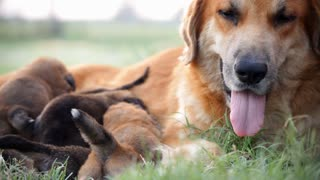 dog and puppies laying in a field