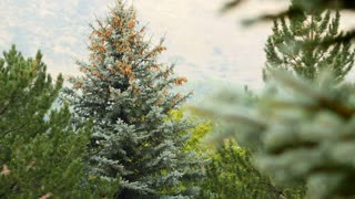 fir trees on a mountain side 4k