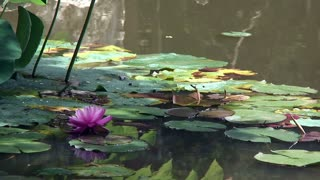 flowers from water lilies with bees pollinating