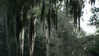 hanging moss in south Louisiana