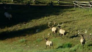 herd of elk in rocky mountains