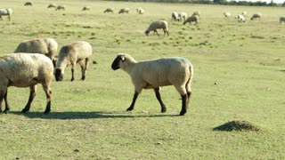 herd of sheep nibbling on grass in overgrazed pasture.