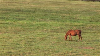 horse grazing in a large open pasture