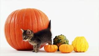 kitten and pumpkins closeup