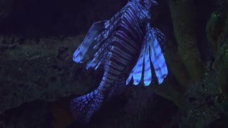 large lion fish swimmming in a aquarium 4k