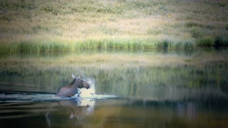 moose swimming in rocky mountains