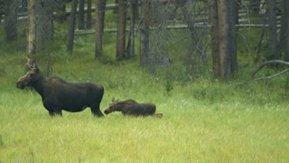 moose with calf in rocky mountains