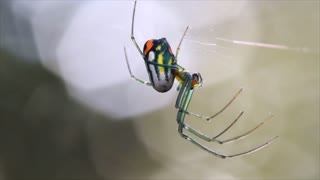 orchard orbweaver spider closeup