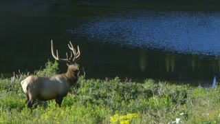 pan from large elk to herd.