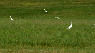 pan right cattle egret birds in south Texas eating bugs
