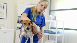 Pretty young vet checks dogs heart