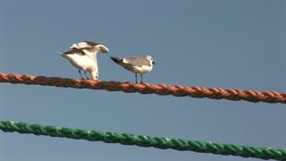 seagulls on a rope