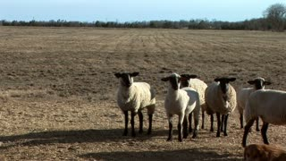 sheep in a large pasture