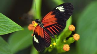slow motion orange and white butterfly collecting nectar from a flower