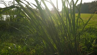 slow motion sun flare behind tall grass