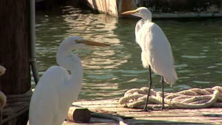 snowy egrets on pier in the harbor