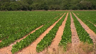 soy beans in a large open field