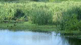 swamp grasses in south Texas