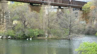 swans under an old railroad bridge