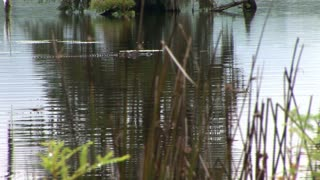 swimming alligator in a Louisiana swamp
