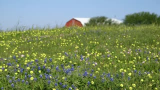 beautiful field of texas bluebonnet flowers