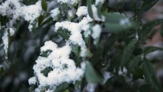 dolly left snow on shrub branches 4k