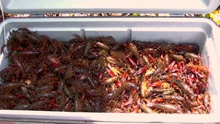 live crawfish in a ice chest