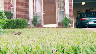 man walking past using a lawn fertilizer cart slow motion