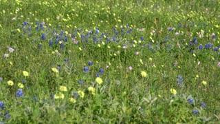 scene of Texas bluebonnets in an open field