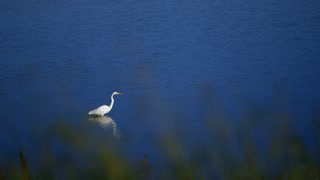 white snowy egret standing in a lake