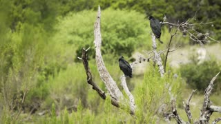 wide shot of two vultures sitting in a dead tree 4k