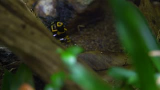 yellow banded poison dart frog in an aquarium 4k