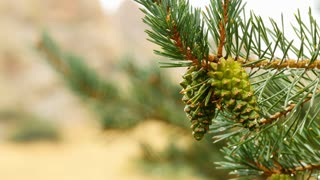 Young pine cones on a tree 4k.