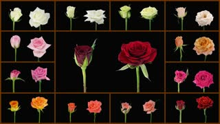 Montage of opening and dying colorful roses wall isolated on black with alpha matte